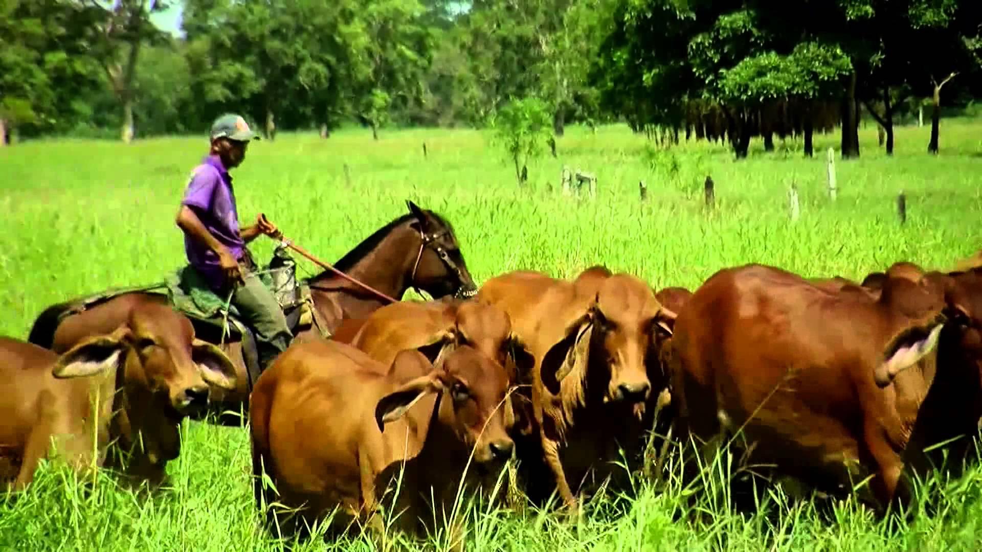 Pastoreo de ganado en Costarrica