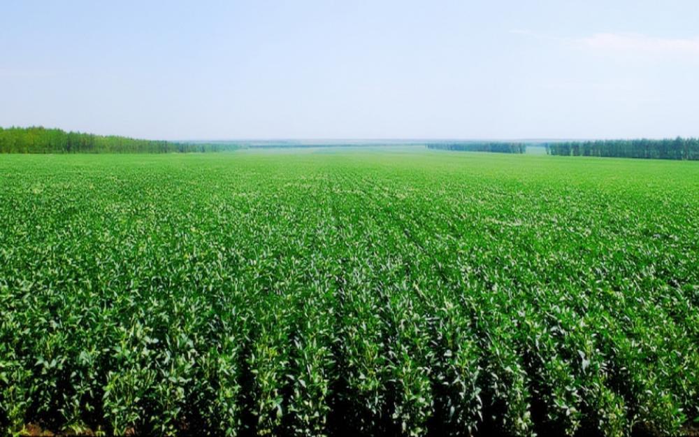 Investigadores de CUAltos y asociaciones trabajan para encontrar el mejor maíz de ensilaje