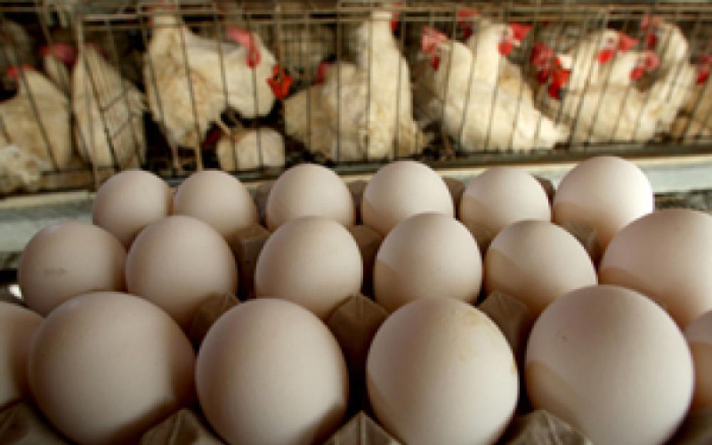 Convocatoria para proyectos de investigación avícola