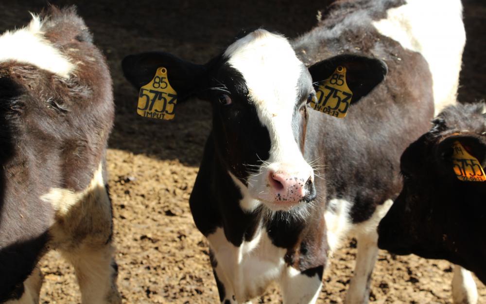 Primer escuela de lecheros en la región